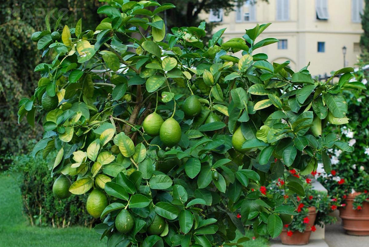 Лайм фото дерево
