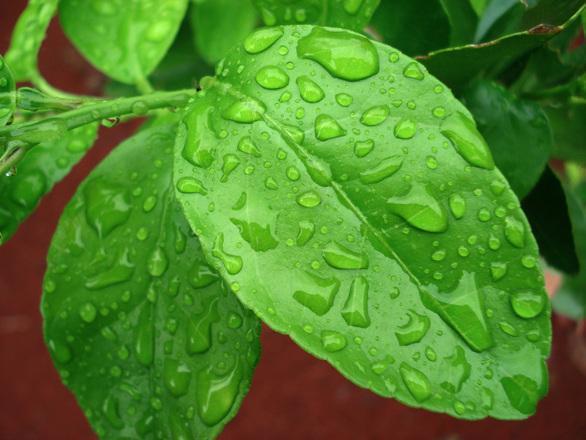 Лист лимона фото