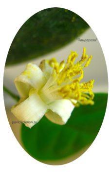 Лимон Пандероза цветок