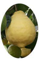Купить лимон Пандероза