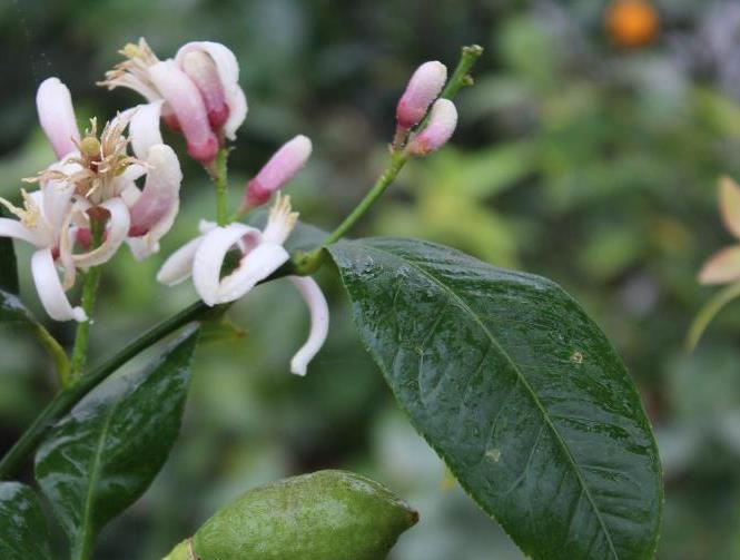 Пиретто цитрон цветет