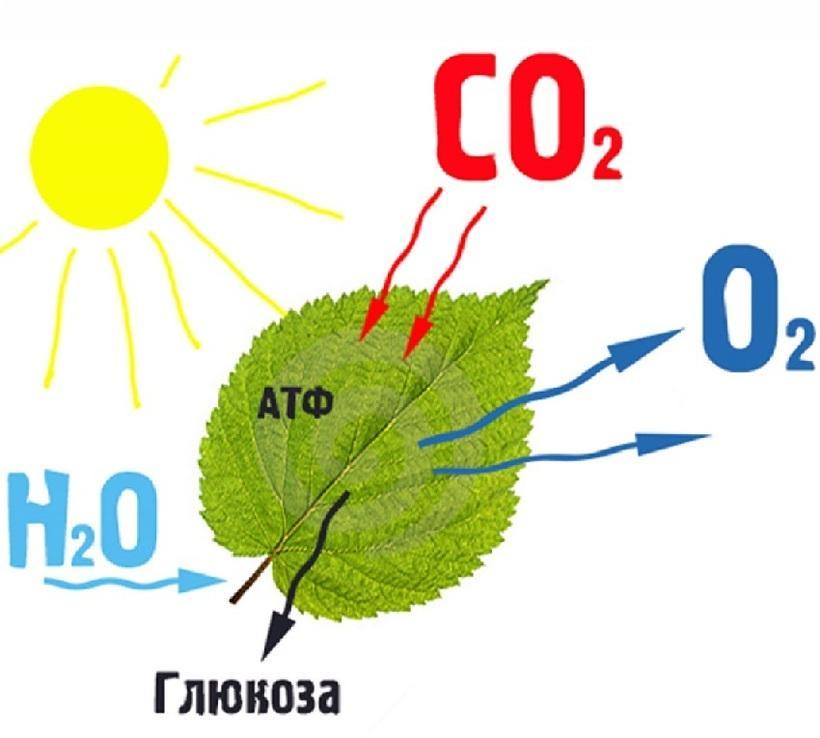 Фотосинтез картинка