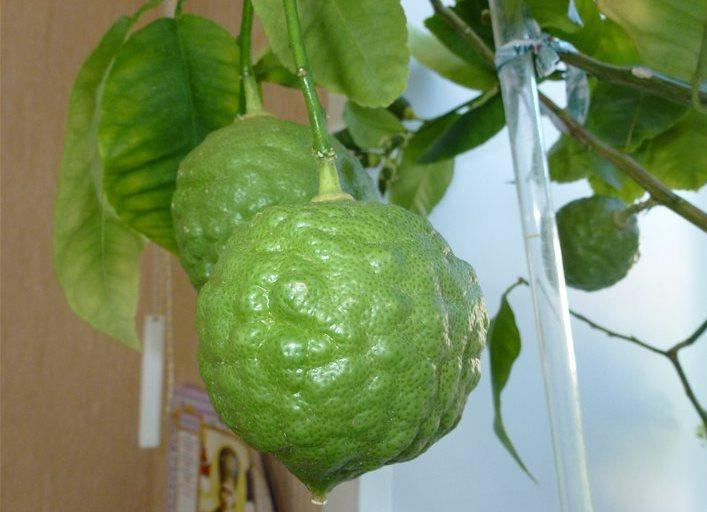 Шишкан плод растение