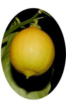Плод Новогрузинского лимона фото