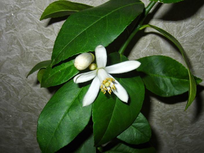 Ароматное цветение Новогрузинского лимона