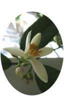 Цветущий лимон Мейера