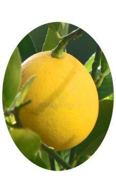 Плод Мейера лимон