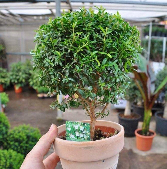 Мирт растение купить