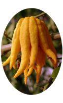 Плод пальчикового цитрона Рука Будды