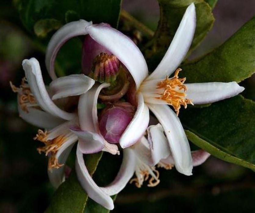 Цитрус Рука Будды Цветет