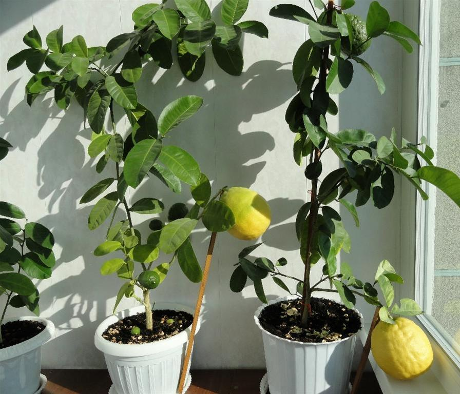 Плоды на лимоне и листья