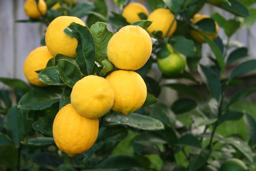 Заставить лимон плодоносить