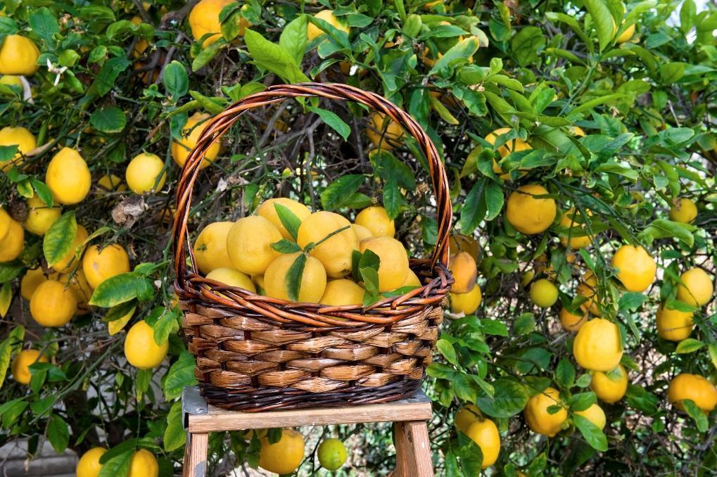 Получаем хороший урожай лимонов