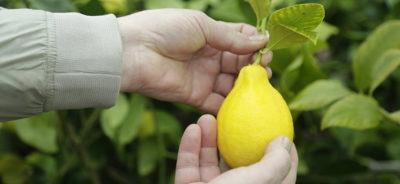 Хороший урожай с лимона