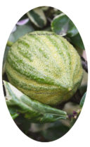 Плод лимона Эврика Вариегатного