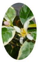 Цветение вариегатного лимона