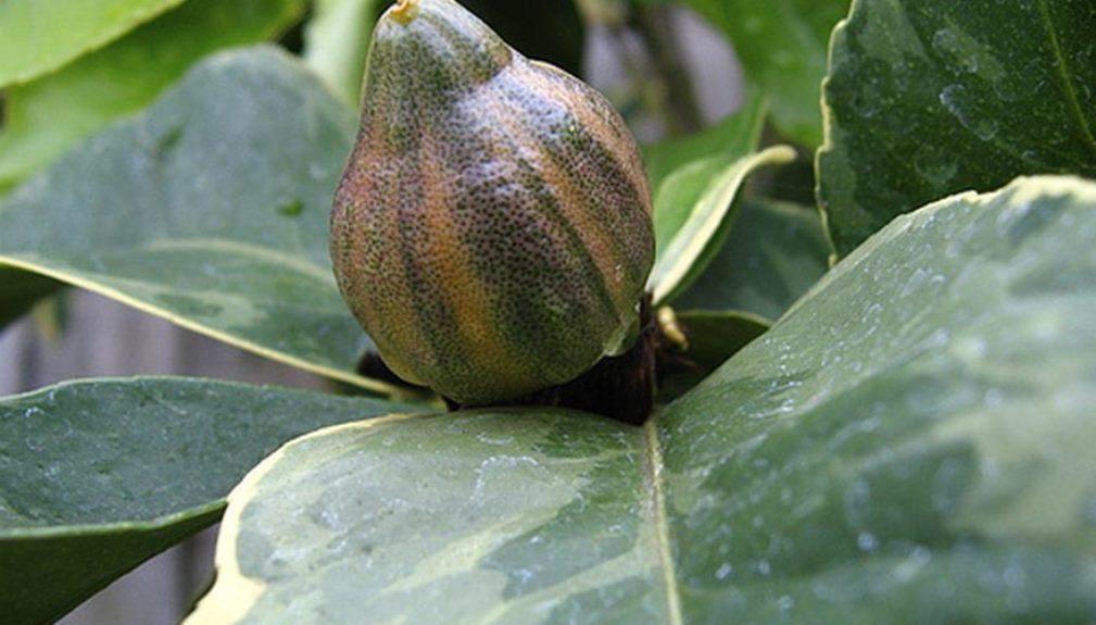 Плод на вариегатном лимоне