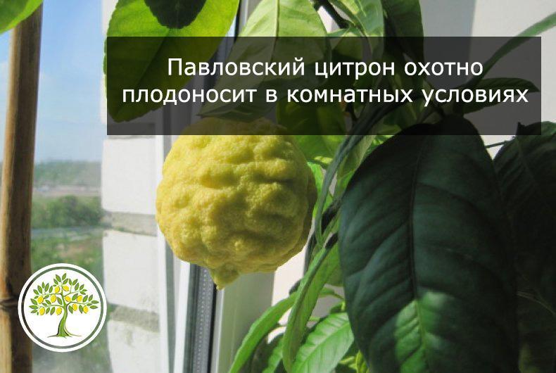 Павловский цитрон на окошке фотография