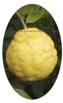 Плод Цитрона Павловского Шишкан