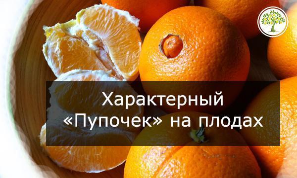 Апельсин фото плода
