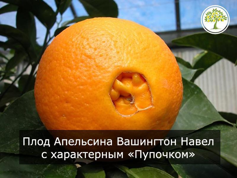 Плод апельсина Навел
