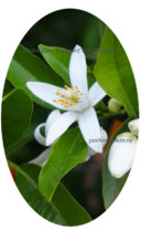 Цветение апельсина Вашингтон Навел