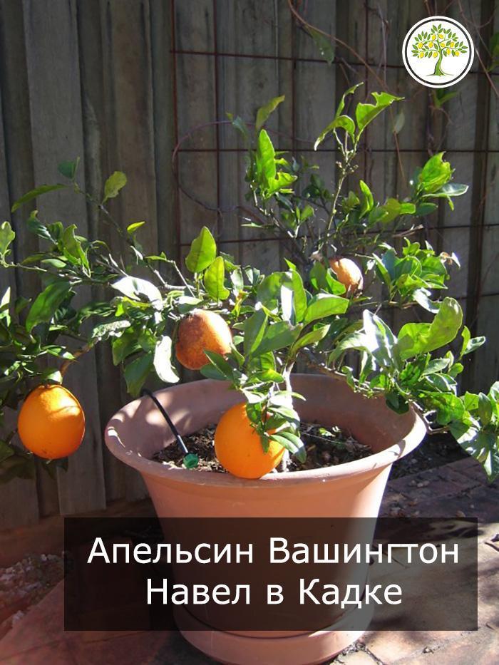 Апельсин Вашингтон Навел в кадке на улице фото