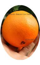 Плод апельсина сорта Апельсин Навел фото