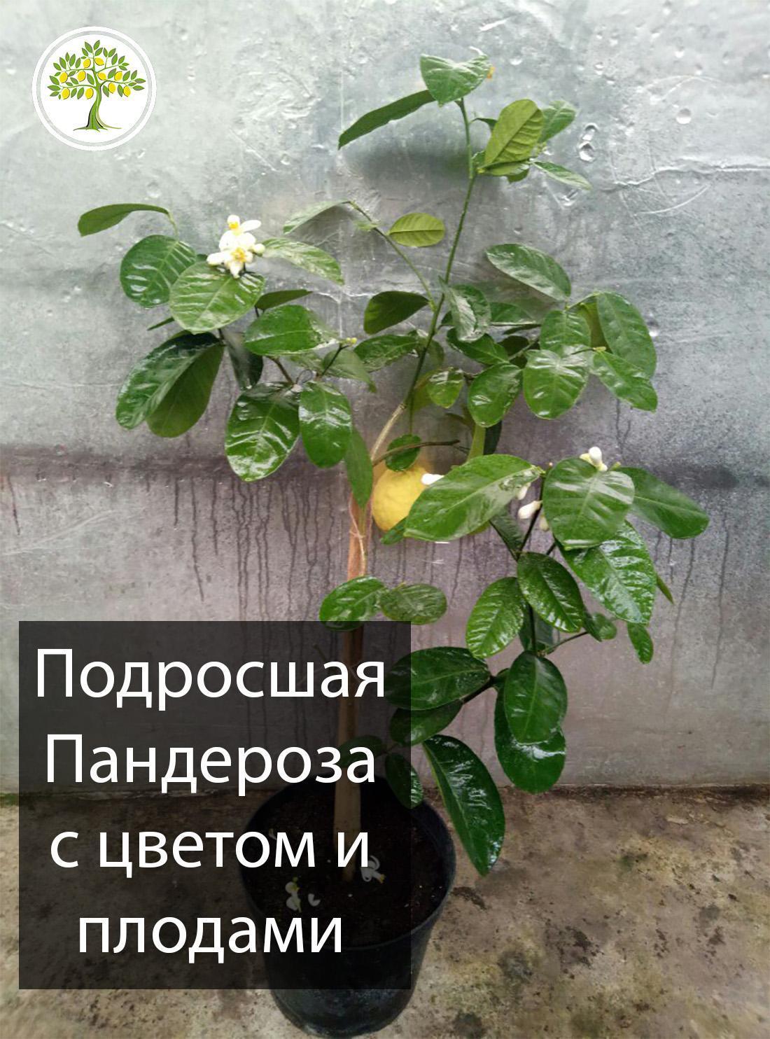 Большой комнатный лимон с плодами