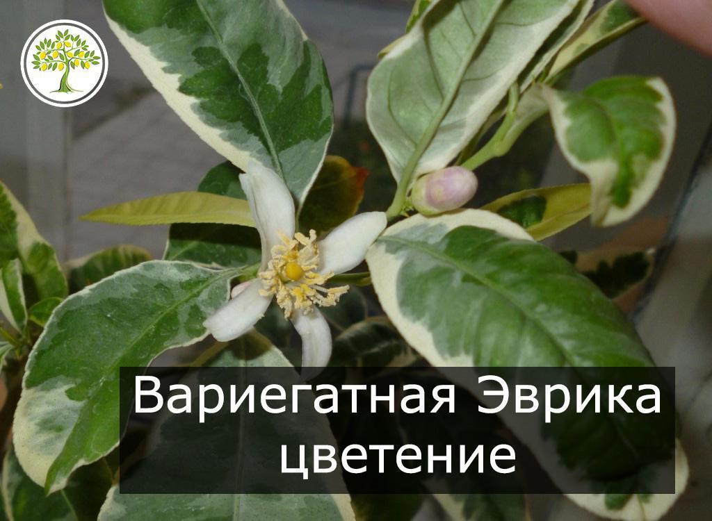 Вариегатный лимон Эврика цветение