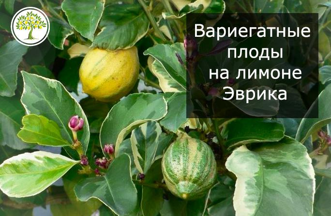 Плоды у пестролистного лимона Эврика