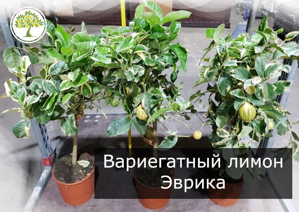 Вариегатный лимон Эврика плодоносящее дерево