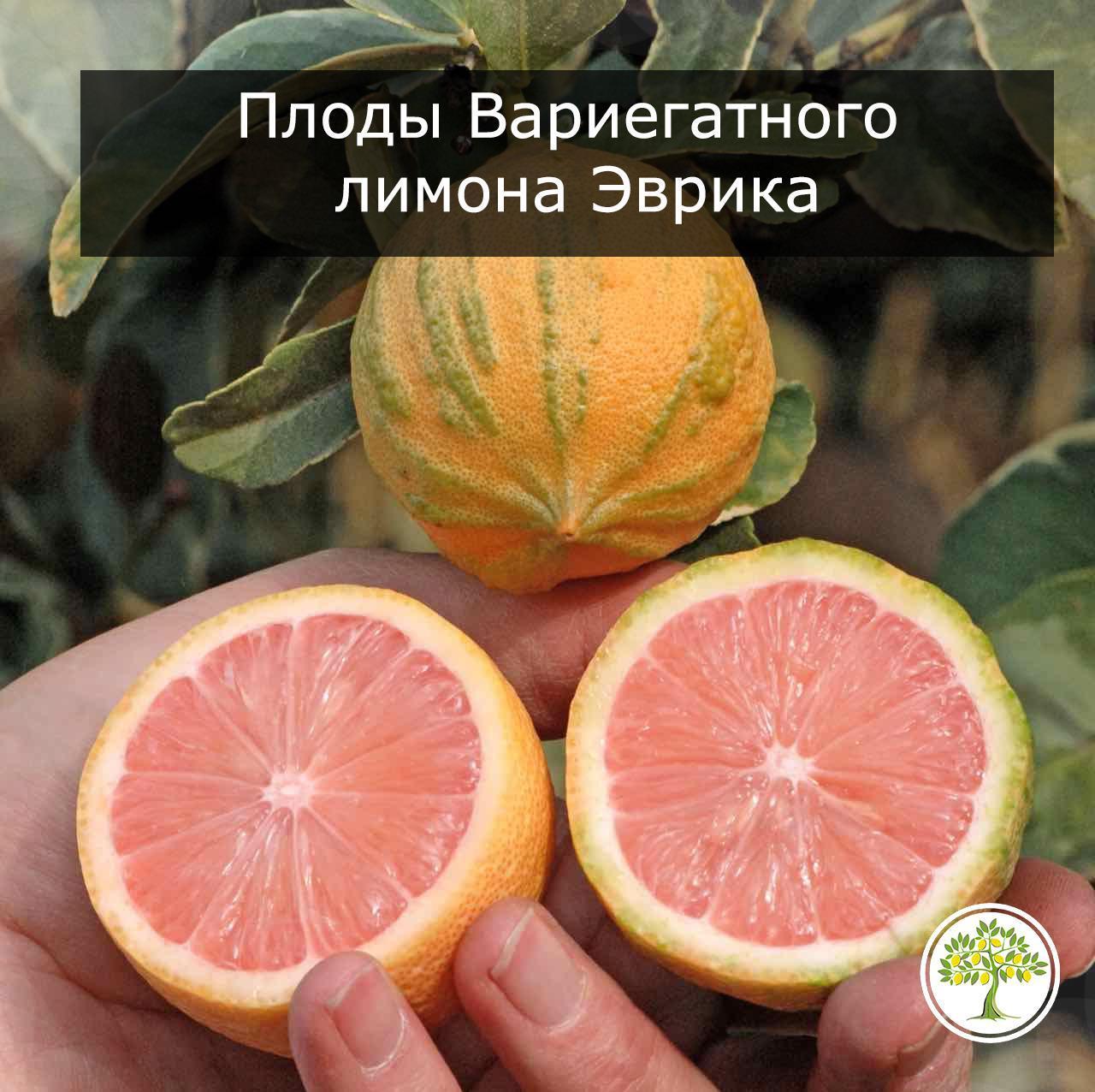 Вариегатные плоды лимона эврика