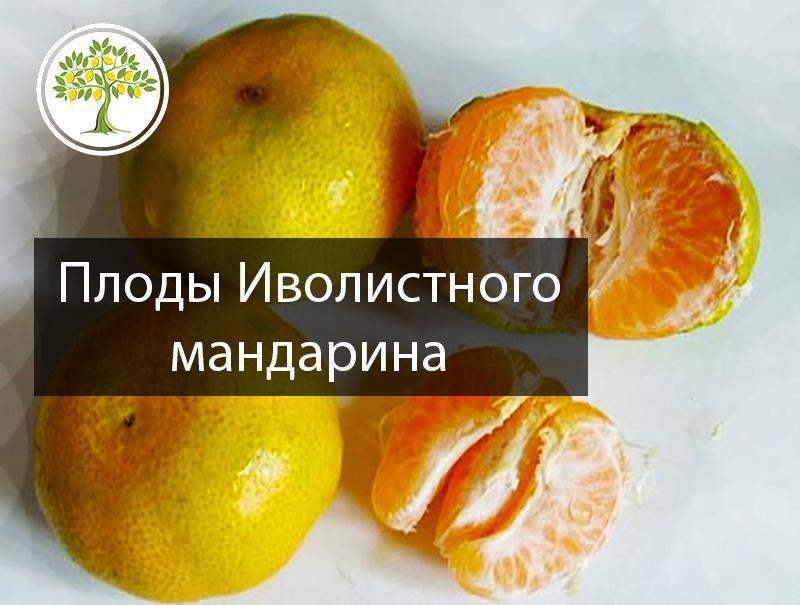 Плоды иволистного мандарина фотография
