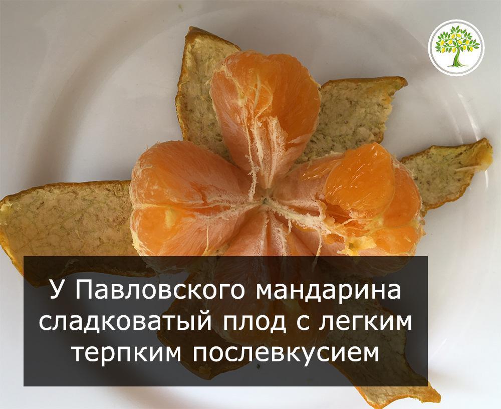 Павловский мандарин плод фото