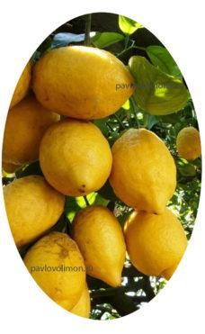 Плоды на цитрусовых грунт