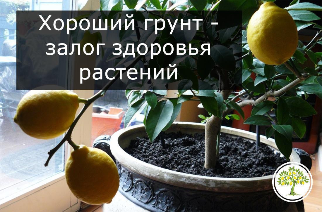 Хороший грунт для цитрусовых растений