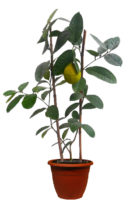 Купить лимон Пандероза с плодами