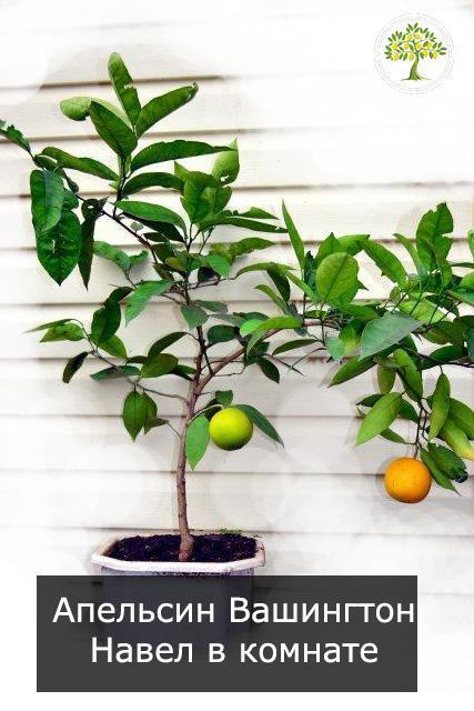 Апельсин с плодами дома