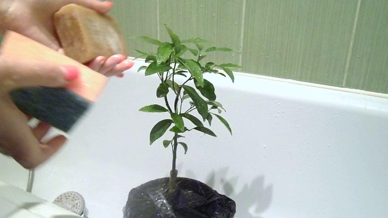 Профилактика вредителей на лимоне - водный душ