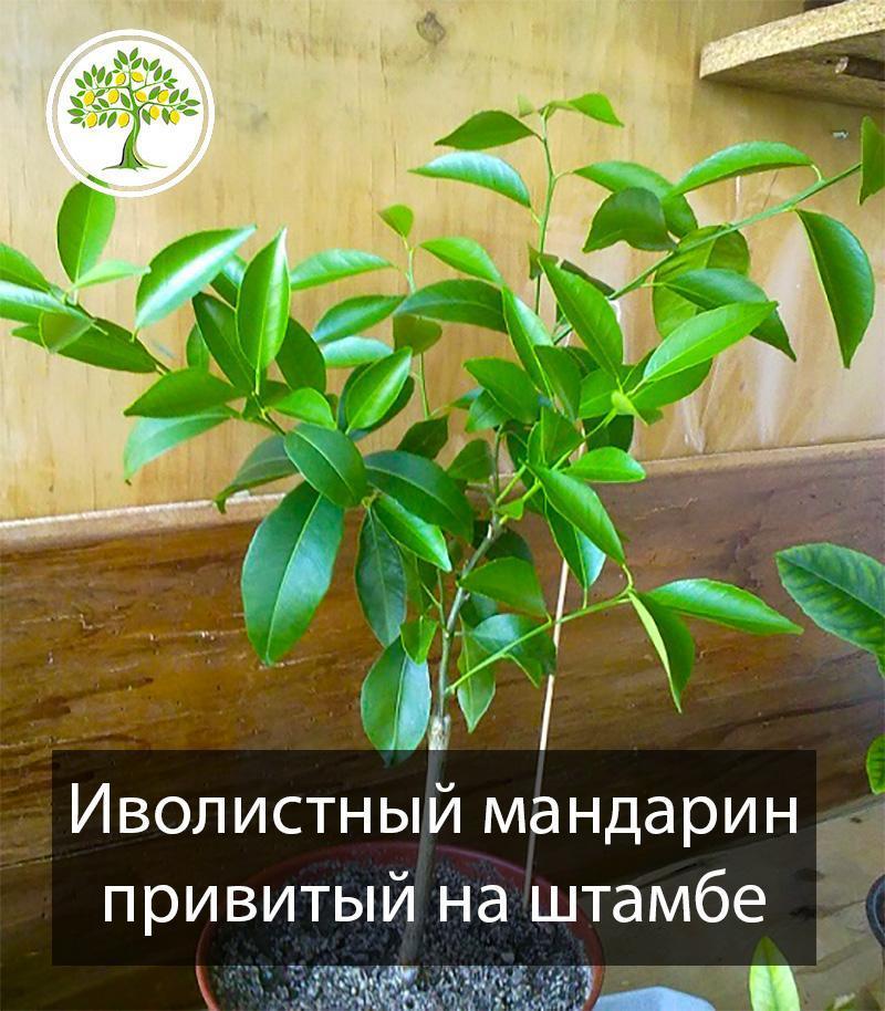 Иволистный мандарин дерево фото