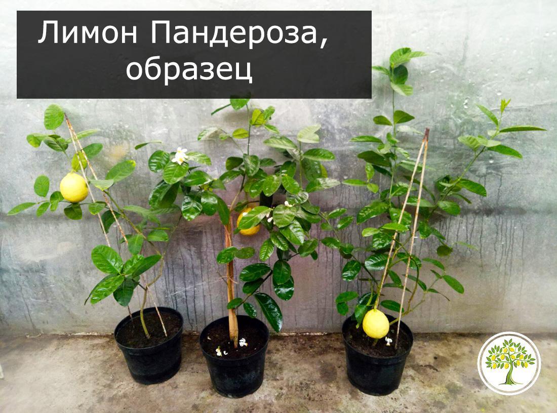 Лимон Пандероза саженцы с плодами фото