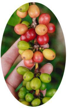 Плоды кофе арабика на растении фото