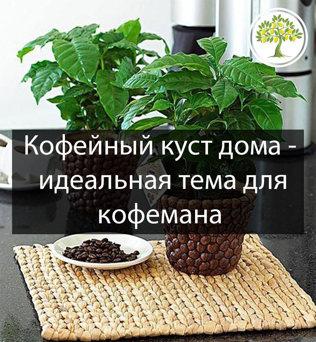 Кофейный куст на кухне
