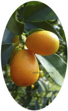 Плоды Кумквата Маргарита фото