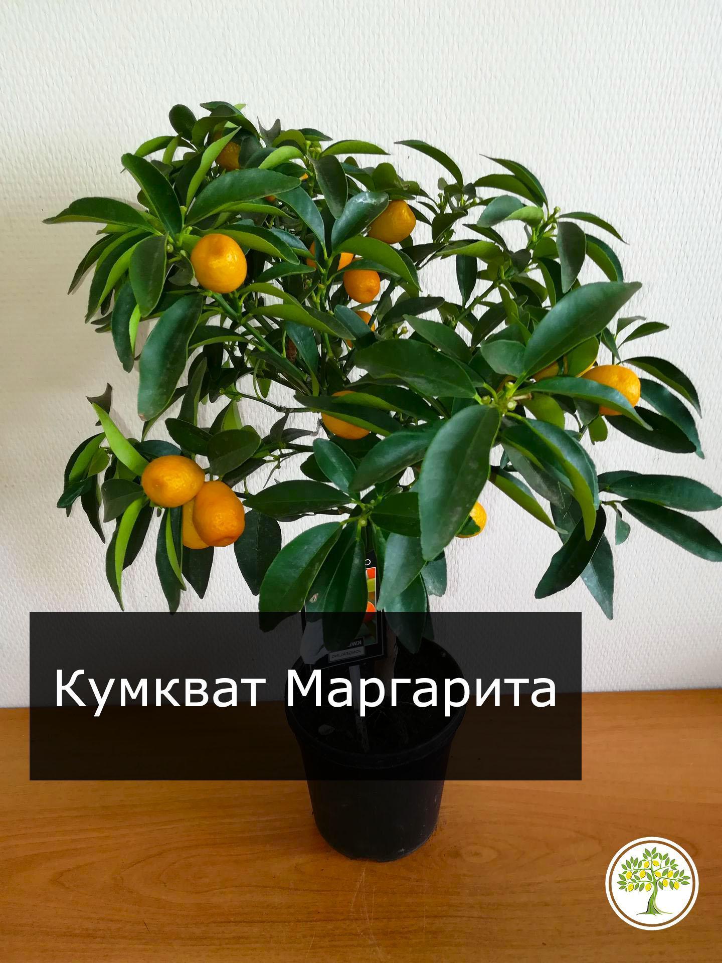 Кумкват Маргарита с плодами