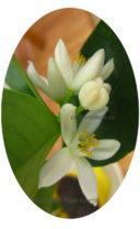 Цветение кумквата маргарита фото