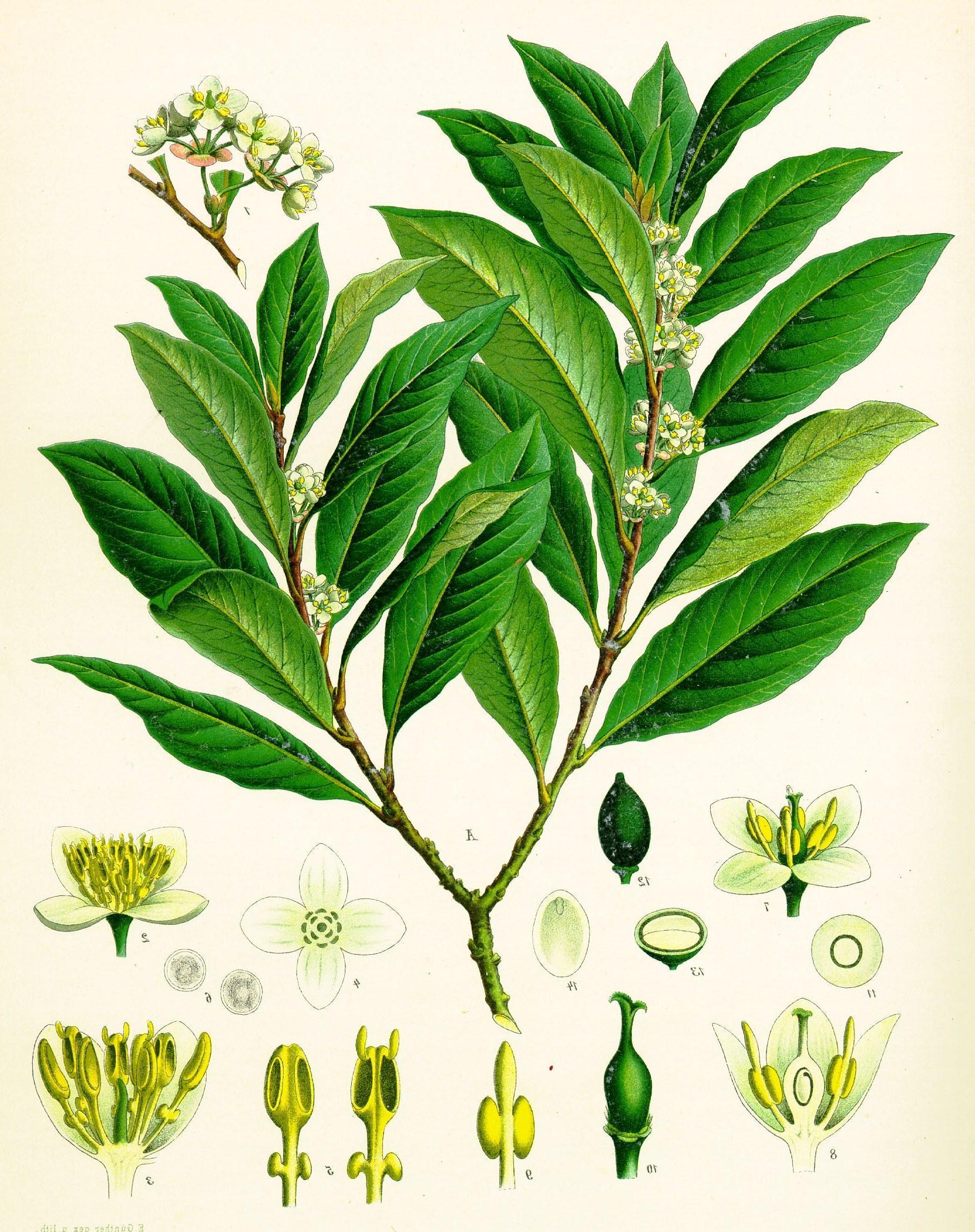 Благородный лавр - ботанические признаки