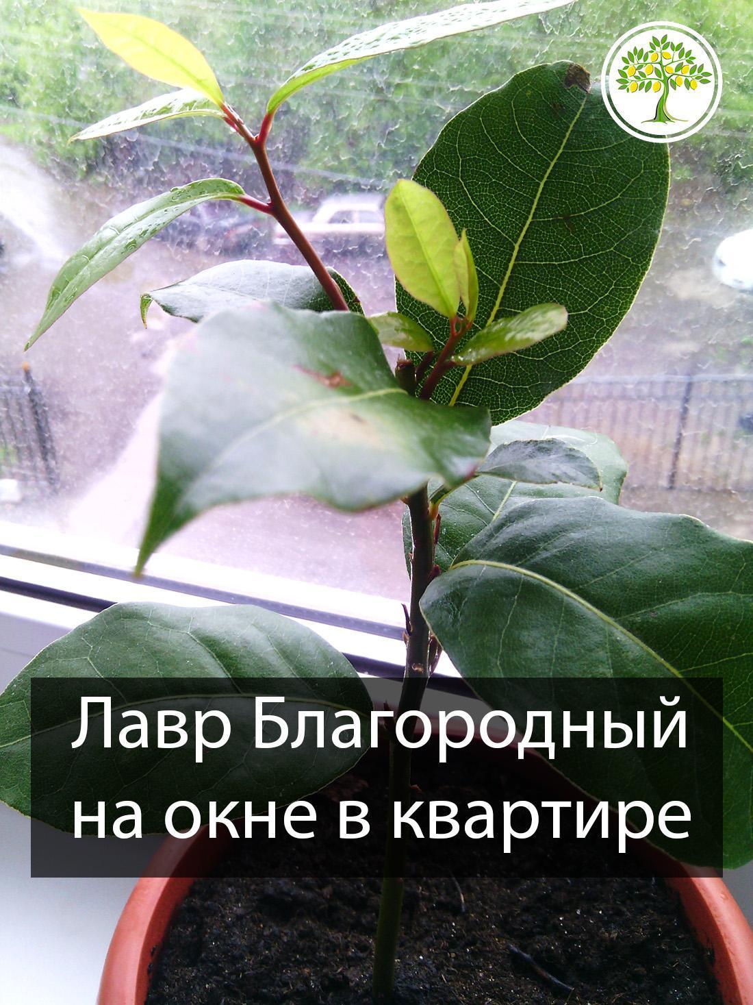 Лавр благородный растение дома на окне фото