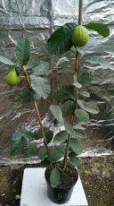 Лимон Пандероза дерево с плодом